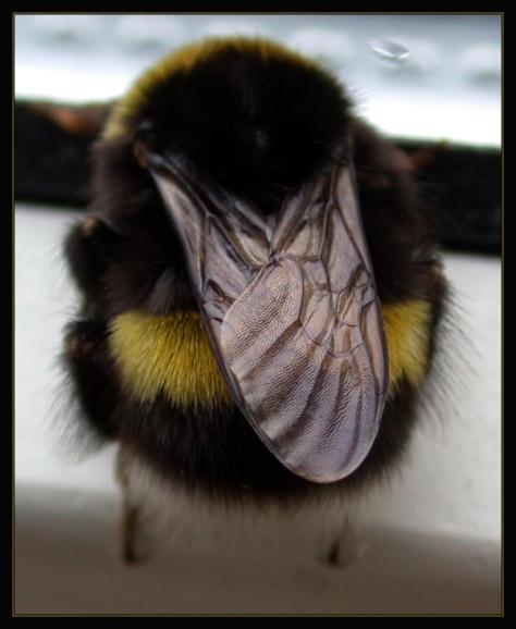 Bumblebee_Visit