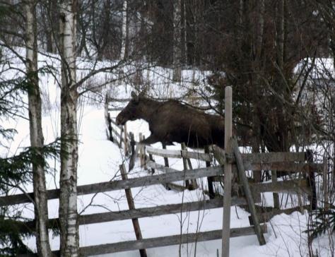 I vinter har vi hatt besøk av elg flere ganger. Her hopper den lett over gjerdet på nabotomta.