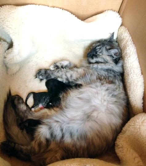 Katten til en venninne har fått unger, og jeg måtte hilse på. Her er de bare 2,5 uke gamle. Ikke så lett å få øye på dem. :)