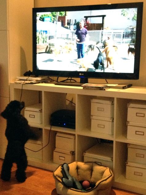 Det var ikke helt planen at vi skulle få oss vakthund, men det har vi altså fått. Her bjeffer han på Hundehviskeren.
